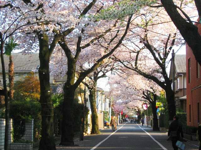成城学園横の通りの桜並木は「世田谷百景」に選出されるほど